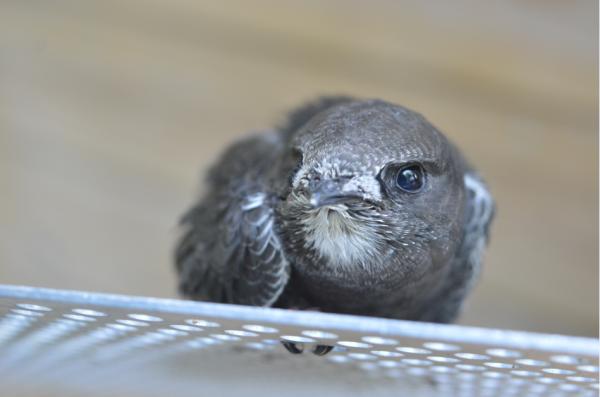 4 juli 2015 – Het is een echt zomers geluid, het gieren van de gierzwaluwen hoog in de lucht. Toch heeft ook deze zomervogel soms last van de hitte: op dit moment is het buiten zo'n 30 graden en hebben we 33 jonge gierzwaluwen te verplegen. Dat zit zo. Gierzwaluwen zijn het grootste deel van …